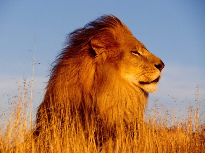 Lion 894